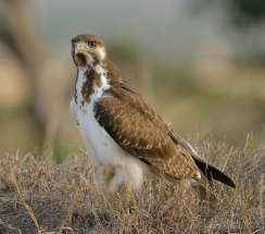 An Augar Buzzard in the Masai Mara