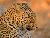 Close up of a young male Leopard in Mashatu