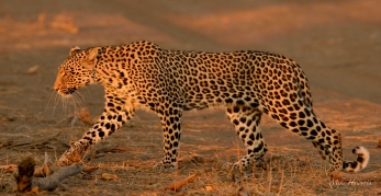 Young male Leopard in the late afternoon light in Mashatu