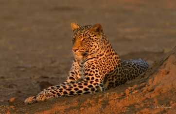 Young male Leopard has come down from his tree to lie on the ground in the late afternoon in Mashatu