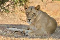 Smart Lioness lying in the shade on a fiercely hot afternoon in Mashatu