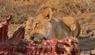 Lioness feeding on an Eland killed the night before in Mashatu