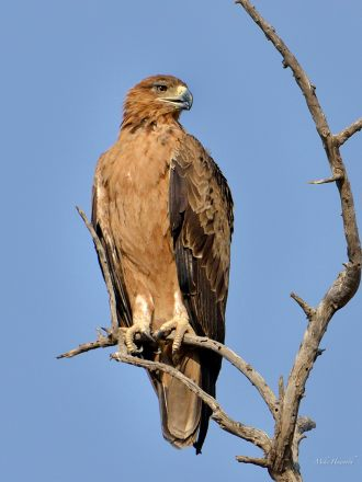 Tawny Eagle in Mashatu
