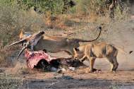 Lioness dragging her Eland kill out of the hot morning sun in Mashatu
