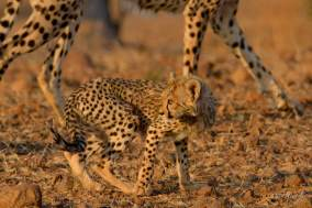 One very nervous young Cheetah i even with his mother by his side in Mashatu