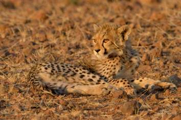 This was the only surviving Cheetah cub of a litter of three in Mashatu