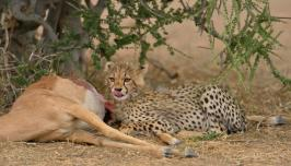 Young Cheetah feeding on an Impala carcass in Mashatu