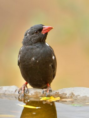 Red-billed Buffalo Weaver at Rock Camp in Mashatu