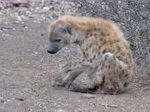 Badly mauled Hyaena on its own but surviving in Mashatu