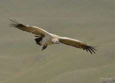 Cape Vulture soaring along the cliff edge near Gaint's Castle