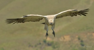 Cape Vulture coming into land at the Vulture's hide near Giant Castle - flaps down, under carriage down, check!