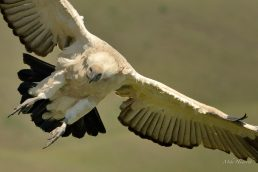 Cape Vulture making its final adjustments before landing