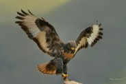 Female Jackal Buzzard at Giant's Castle