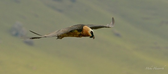 Adult Bearded Vulture on a flyby at Giant's Castle