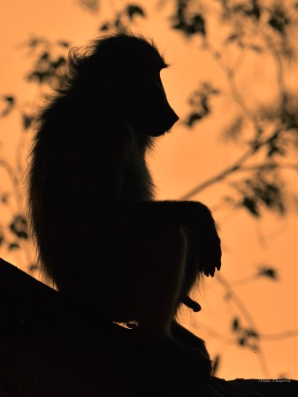 This male Baboon was contemplating his next move in the romantic part of the evening with with apparently little need for modesty or subtlety