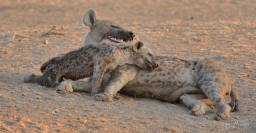 Tender times between a pup and female Hyaena