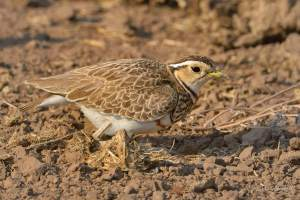 Female Double-baned Courser protecting her eggs in Mashatu