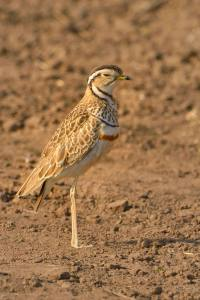 Male Double-banded Courser in Mashatu