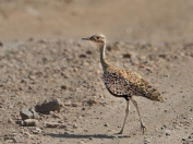 Female Red-crested Korhaan in Mashatu