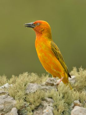 Cape Weaver at Giant's Castle