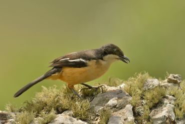 Female Southern Boubou at Giant's Castle