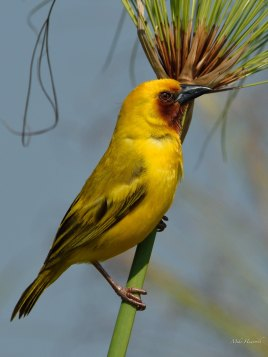 Southern Brown-throated Weaver in full breeding plumage