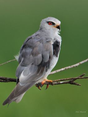 Black Shouldered Kite at Marievale near Nigel in Mpumalanga