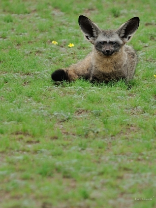 Bat-eared fox in Mashatu in summer
