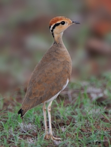 Temminck's Courser in Mashatu