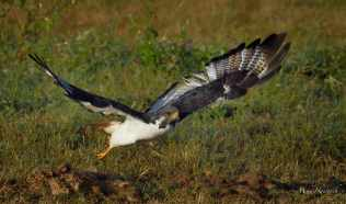 Augur Buzzard taking off from its boulder perch in the Ngorongoro crater