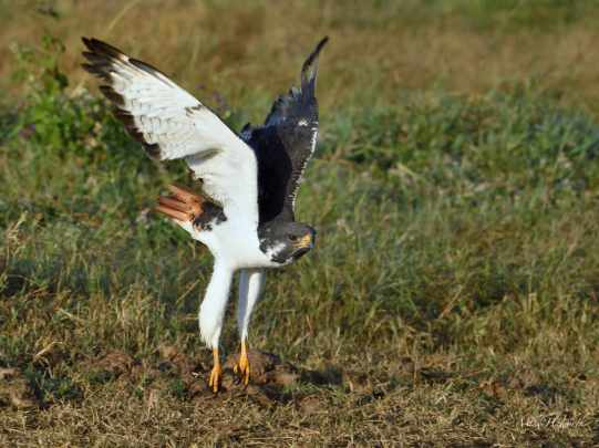 Augur Buzzard in flying just above the ground in the Ngorongoro crater