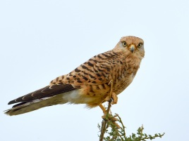 Greater Kestrel perched on top of an acacia tree in the Serengeti