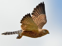 Greater Kestrel inflight in the Serengeti