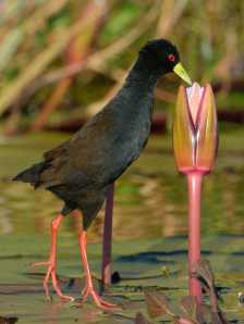 Black Crake looking for insects on the lily pads on on the Chobe River