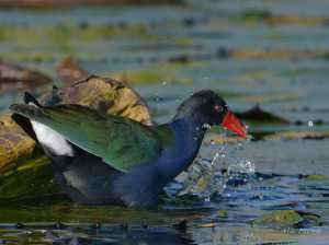 Allen's Gallinule on the Chobe River