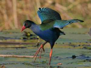 Allen's Gallinule landing on a lily pad on the Chobe River