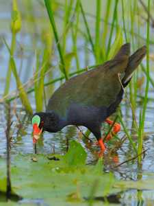 Allen's Gallinule at Leeuwpan in Kruger Park