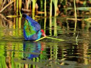 Purple Gallinule gathering nest material at Marievale