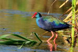 Purple Gallinule riding reeds at Marievale