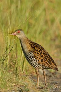African Crake at Marievale - early in the morning