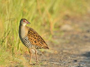 African Crake - an uncommon visitor to Marievale