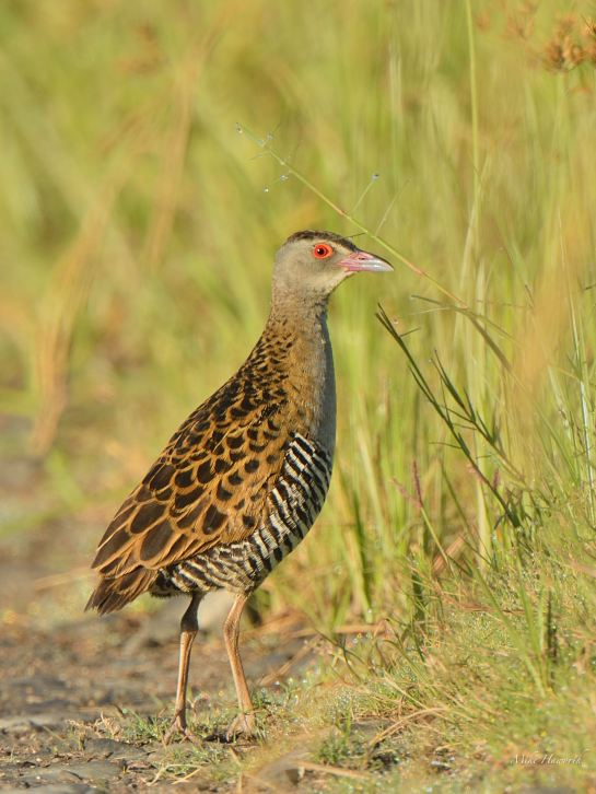 Relaxed but always alert - African Crake