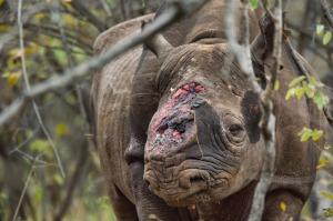 01-hornless-black-rhino-670