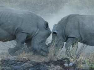 Rhino18