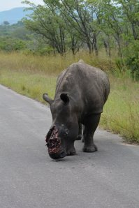 rhino image by Frans Lombard