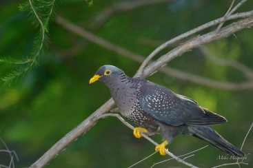 Rameron now called African Olive Pigeon