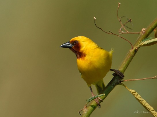 Southern Brown-tjhroated Weaver along the Chobe river