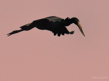 Openbill in flight looking for a landing spot along the Chobe river