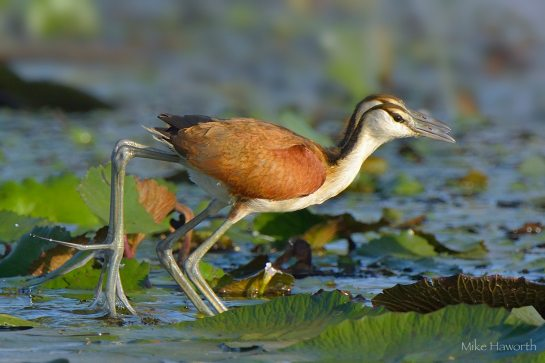 Seeing double - Juvenile African Jacanas