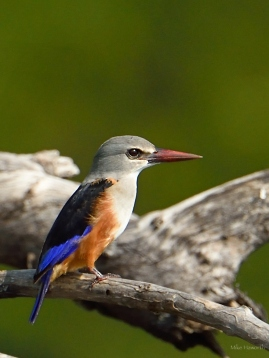Grey-headed Kingfisher in the Serengeti